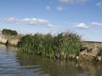 Vegetació en el marge d'un canal.