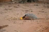 Armadillos love mangos!