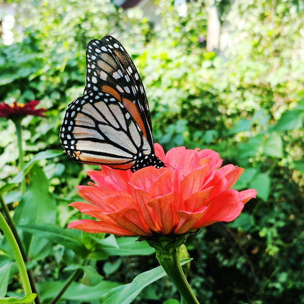 A butterfly alights on a pink zinnia.