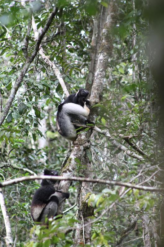 Indri indri in Andasibe National Park