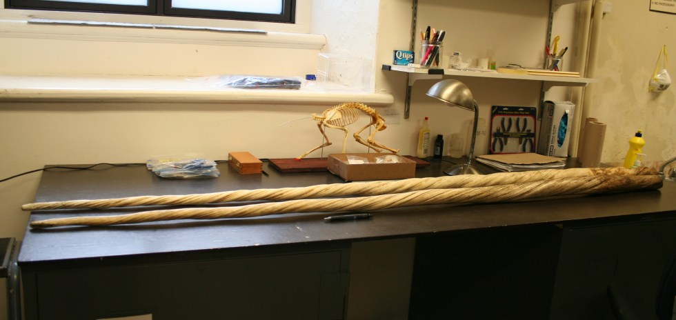 Two narwhal tusks lie on a laboratory desk, between a partial skeleton and a pen. Each tusk measures about 1.8 m (5.9 ft) and has spiral grooves from base to tip.