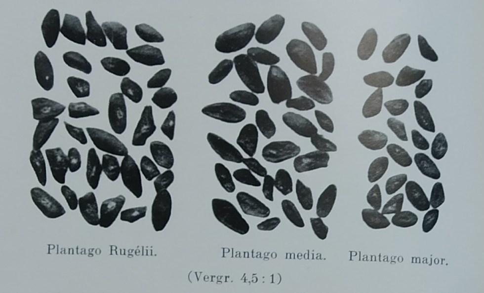Caption: seeds of three species of plantain (Plantago rugelii, Plantago media, Plantago major), 1930s  Description: A black and white photo showing three different species of plantain (Plantago rugelii, Plantago media, Plantago major). These plates made it easier to recognise seeds of the same variety by observing their morphological characteristics.