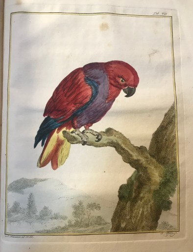 An illustration of the Eclectus parrot sitting on a branch, with red and purple feathers and a yellow tail.