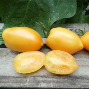 TOMATE Téton de Vénus jaune