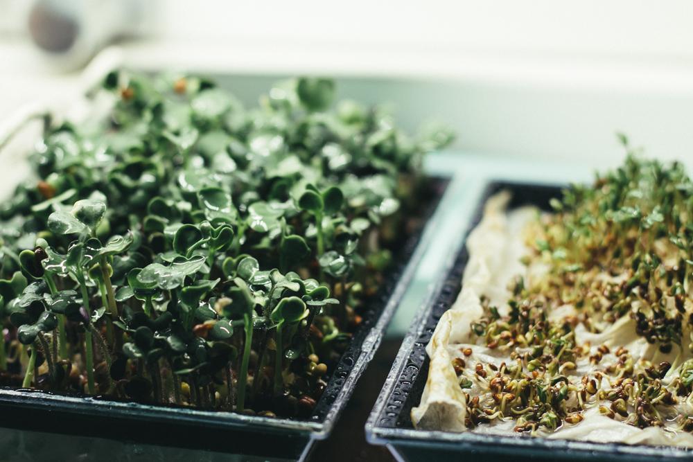 Odla ätbart inomhus under växtbelysning. Groddar. Foto: Johanna Ene 2020.