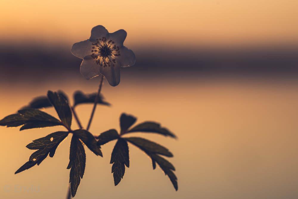 Vitsippa i motljus från soluppgång. Maj månad vid sjön Mjörn, Lerums Kommun. Foto Johanna Ene 2021.