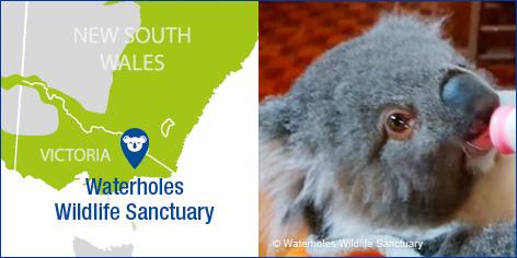 Waterholes Sanctuary Nugget Koala