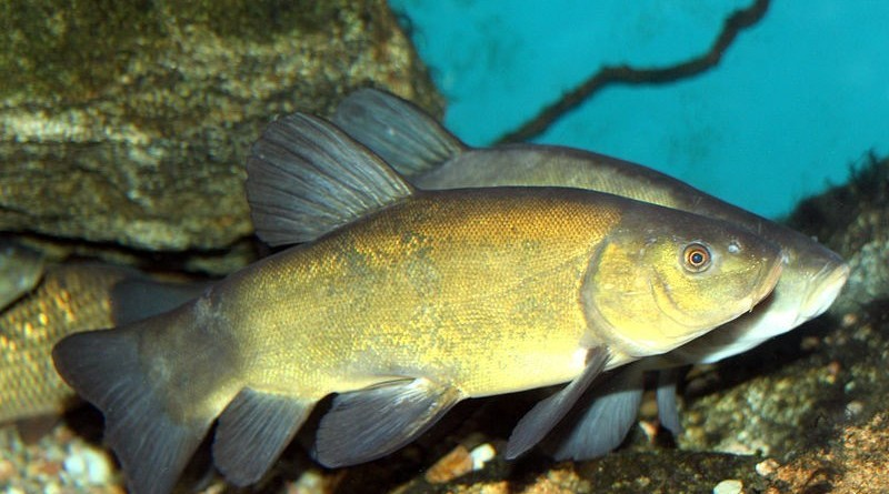 Will the Eurasian tench (Tinca tinca) be the newest invader to wreak havoc in the Great Lakes?