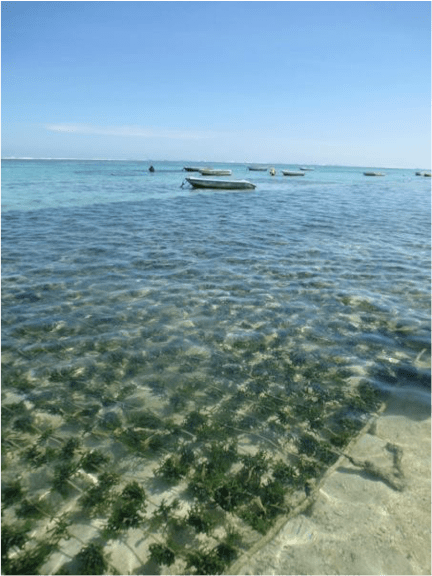 Can seaweed farming help fight climate change? – envirobites