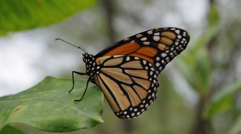 Location, Location, Location – Planting Milkweed for Monarch Conservation