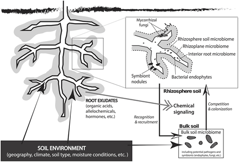 A diagram of the rhizosphere