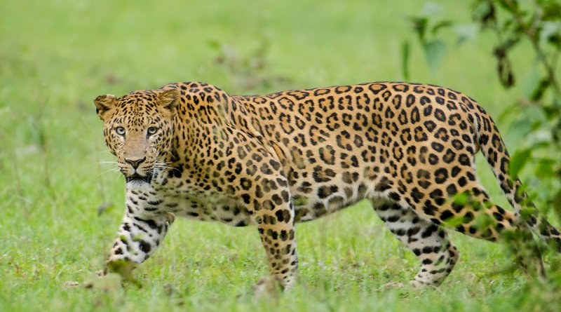 The human-leopard conflict in India… who are the victims?
