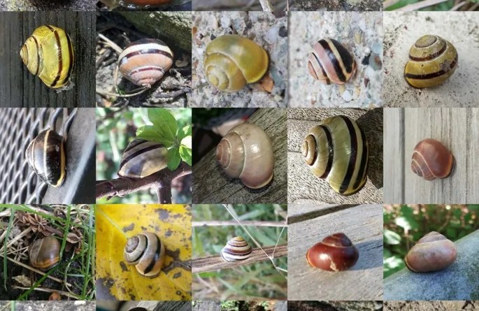Many photos of snails. Snails range in color from yellow to pink and brown. Some have brown stripes