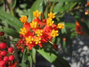 Orange and yellow flowers on exotic milkweed or Asclepias curassavica.