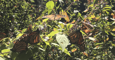 Monarch butterflies on a green plant.