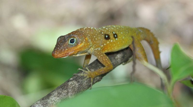 Hang on to that tree! Lizards that survived hurricane Maria showed increases in grip strength