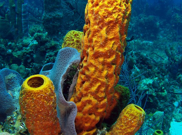 Image shows a bright orange and yellow sponge growing on the sea floor in a coral reef. It is made of several thick vertical tubes with a rumpled texture on the outside. There's a blue-gray fan sponge or fan coral between a couple of the tubes, and the reef in the background is tinted blue from the light filtering through the water. The color of the sponge is probably so bright from a camera flash.
