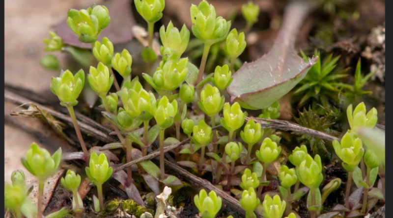 Population genetics to uncover life history and inform conservation of a federally threatened tiny plant