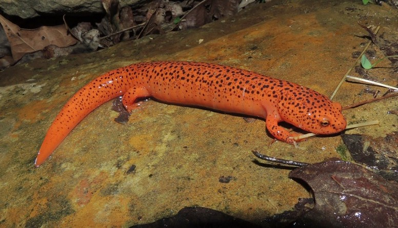 From the mountaintops to the streams: Mountaintop removal mining threatens salamander populations