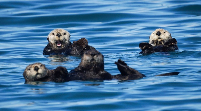 """The """"Heartbreaking"""" Effect of Algal Blooms – Heart disease and the Southern Sea Otter"""