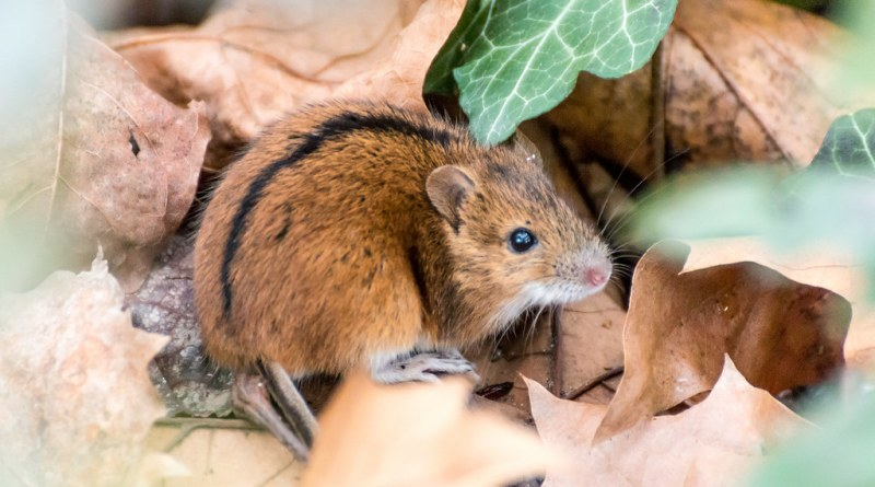 Puzzling Mice – City mice are better problem solvers