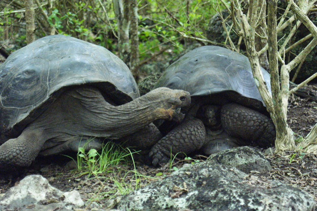 Surrogates for Ecosystem Engineers? A new method to restore the Galapagos Islands