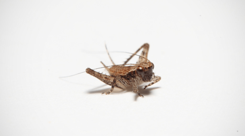 Combine Crickets and Lockdowns and get an Unlikely Experiment