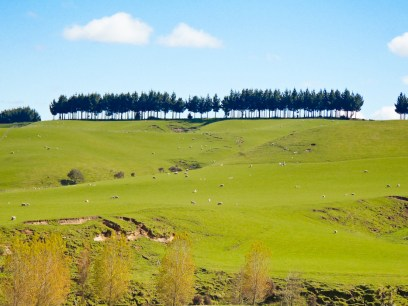 Sheep Farming, North Island