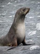 Antarctic Fur Seal, Half Moon Island, South Shetland Islands, Antarctic Peninsula