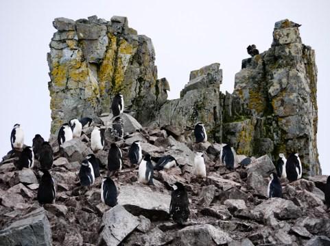 Chinstrap Penguins, Half Moon Island, South Shetland Islands, Antarctic Peninsula