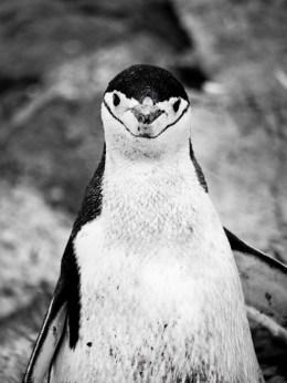 Chinstrap Penguin, Half Moon Island, South Shetland Islands, Antarctic Peninsula