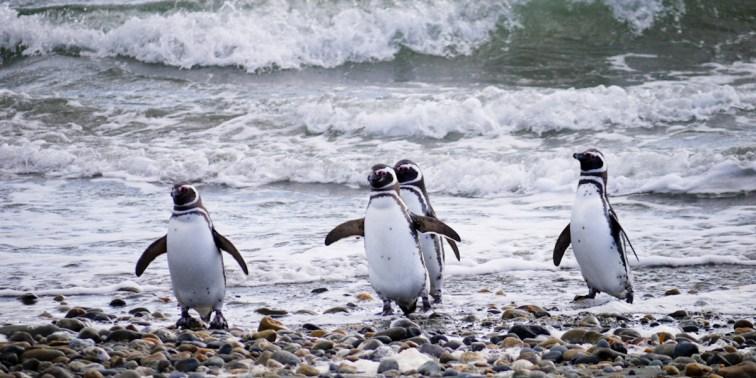 Otway Magellanic Penguin Colony, Chilean Patagonia