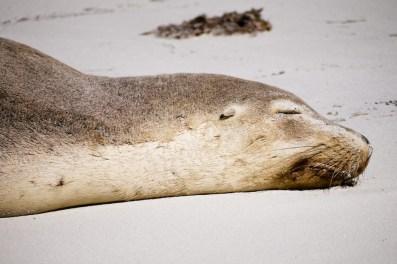 New Zealand Fur Seal, Bales Beach, Kangaroo Island