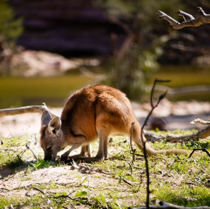 Wallaby, Kalbarri National Park
