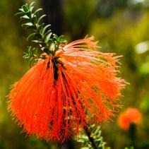 Wildflower, Mt Pingerup, D'Entrecasteaux National Park