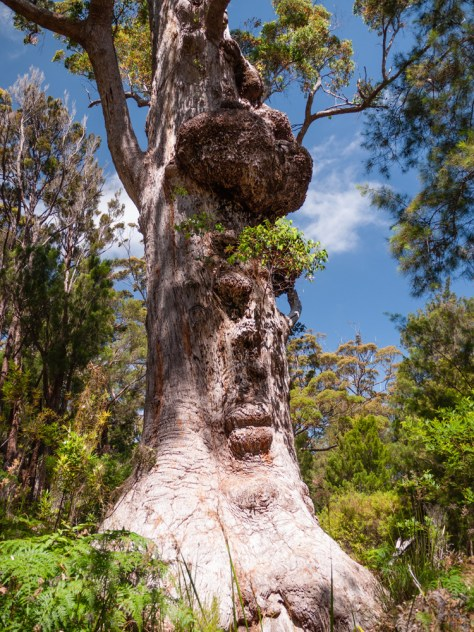 Giant Tingle Tree Walk, Walpole-Nornalup National Park