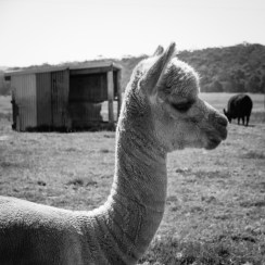 Llama Farm near Walpole-Nornalup National Park