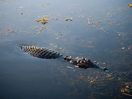 Crocodile, Yellow Water Billabong, Kakadu National Park, Northern Territory