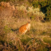 Kangaroo, Cape Range National Park, Western Australia