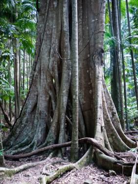 Giant Tree Roots along the Minyon Loop Walking Track, Nightcap National Park