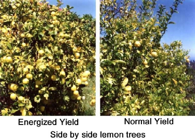 Lemon tree yields comparison with and without energized water