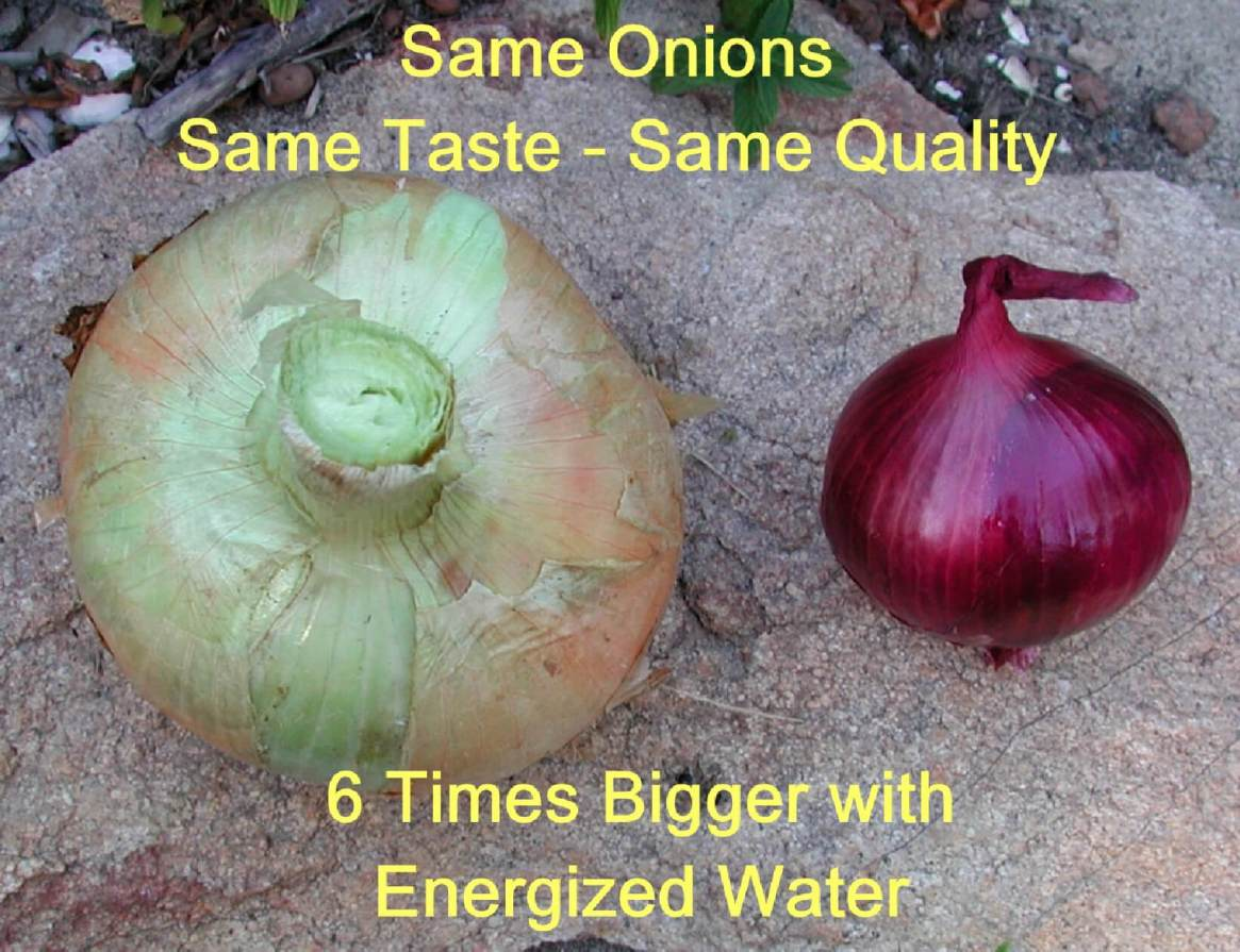 Same onions, same taste, same quality - 6 times bigger with energized water