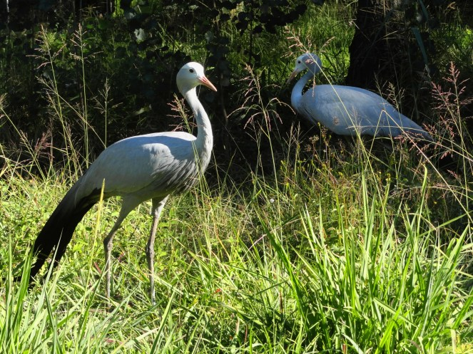 Figure 4: A friendly pair of Blue Cranes posing for a picture.