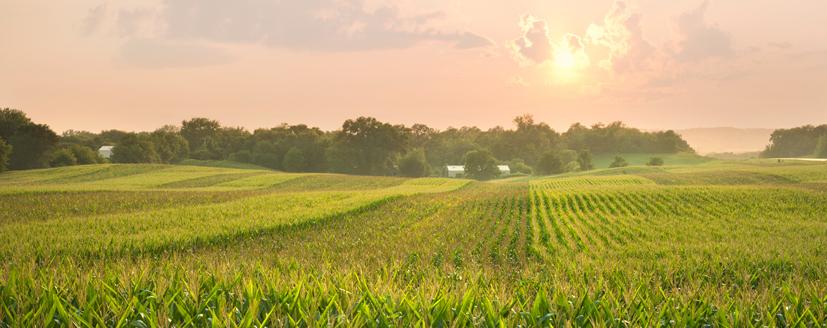 A corn field at sunset