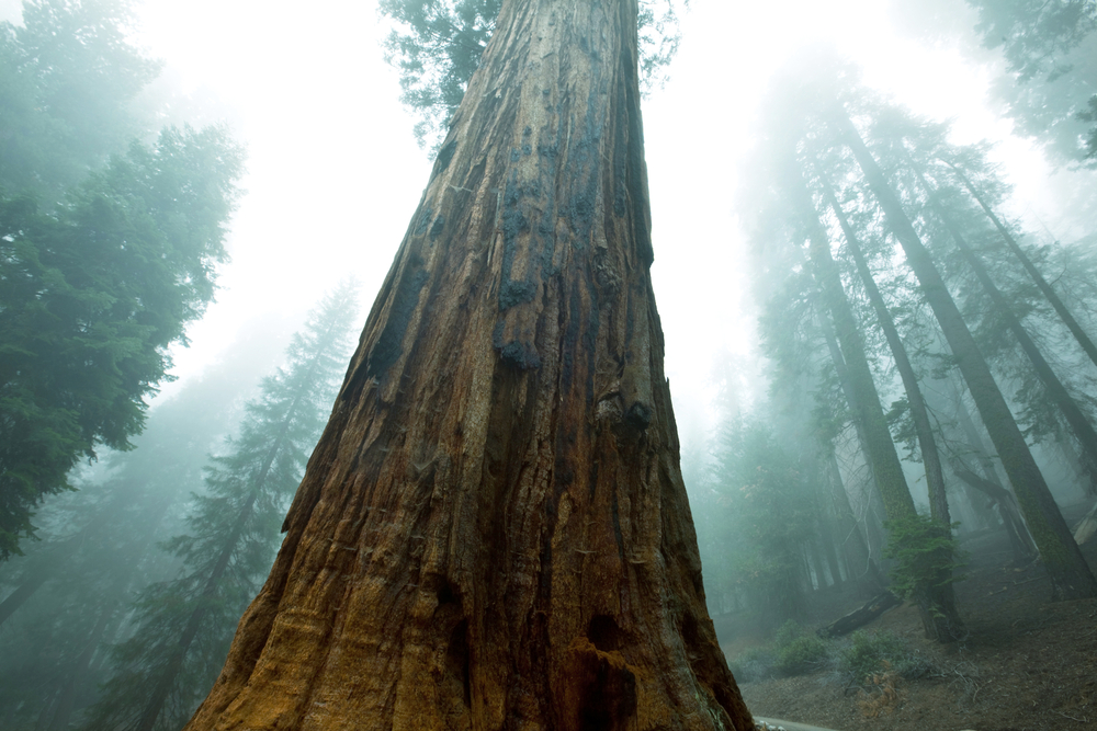 Giant sequoias in the Sierra Nevadas get some of the nutrition they need thanks to Asian dust.