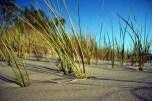Marram Grass_Doug Johnson