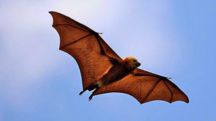 Philippine-Naked-backed-Fruit-Bat