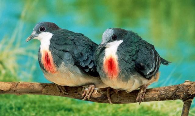 mindoro-bleeding-heart-dove-endangered-species-in-the-philippines