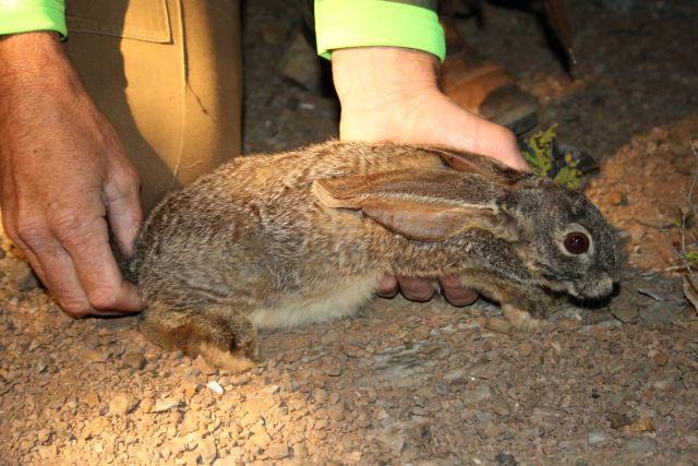 riverine-rabbit-endangered-animals-in-africa