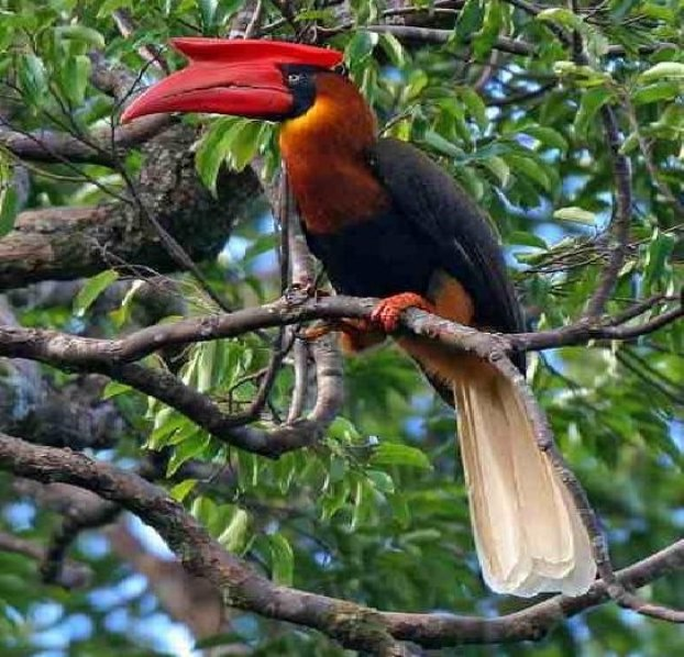 rufous-hornbill-endangered-species-in-the-philippines